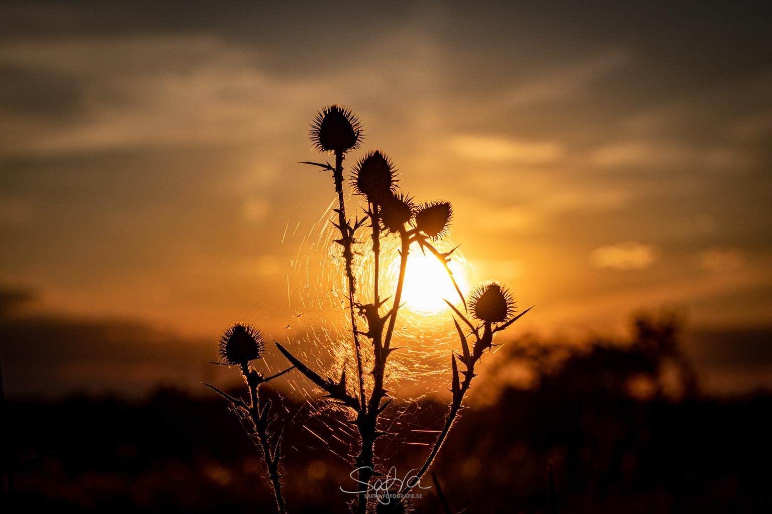 Sickenhofen, Sonnenuntergang mit Distel