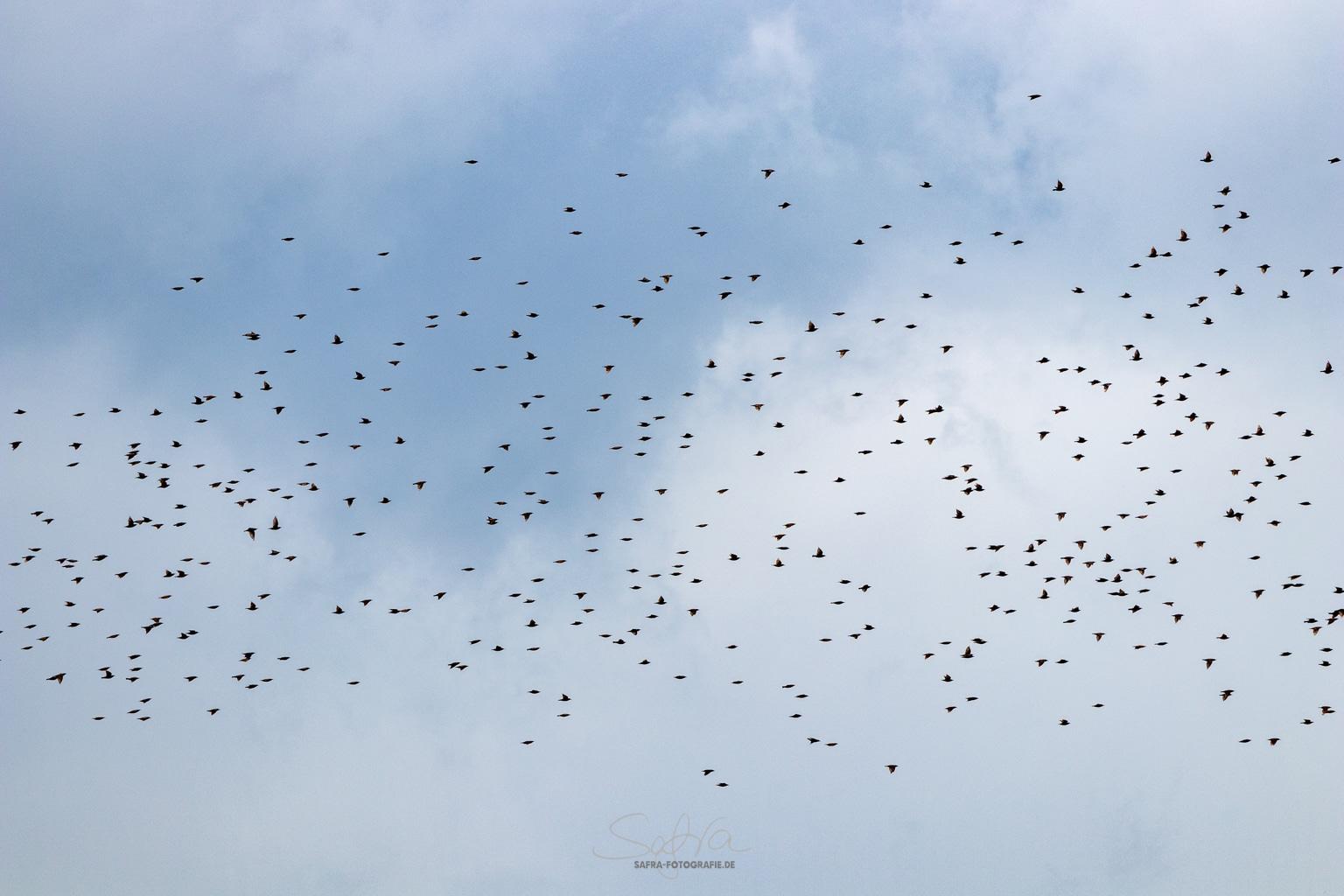 Sickenhofen, Vogelschwarm