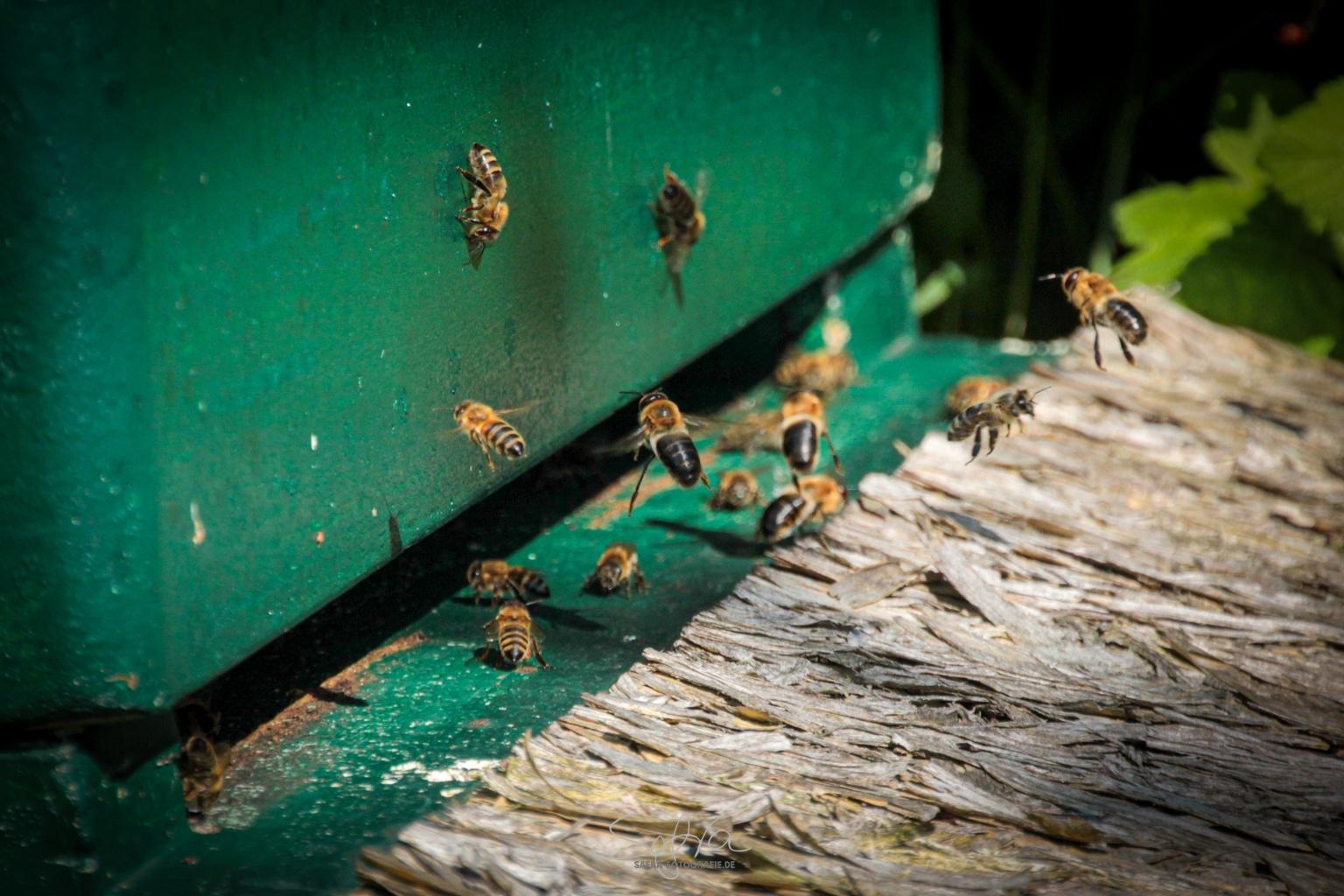 Falken Gesäß, Bienenvolk