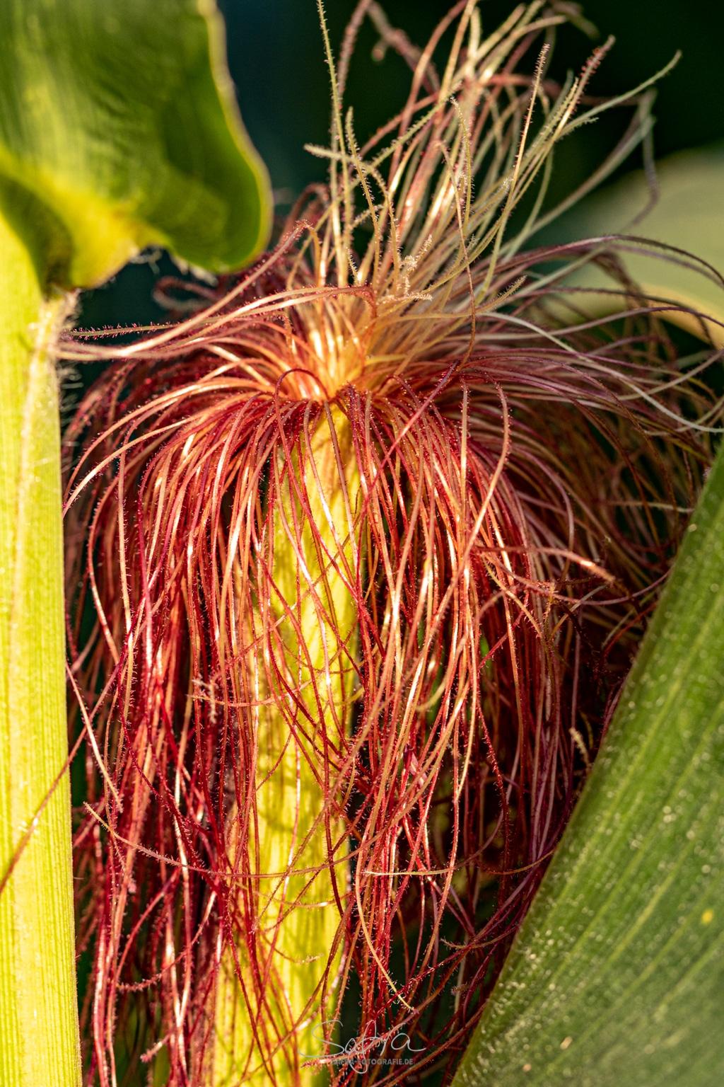 Hergershäuser Wiesen, Freggles-Mais