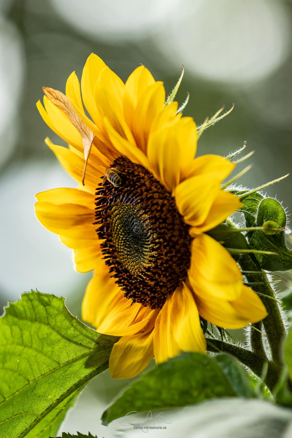 Hergershäuser Wiesen, Sonnenblume