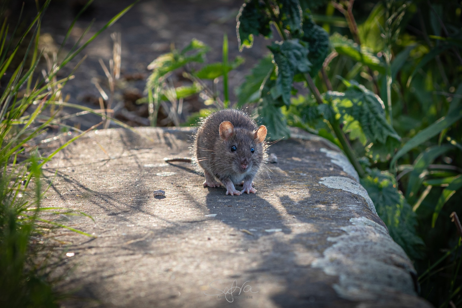 Wilde Maus in Seligenstadt am Main