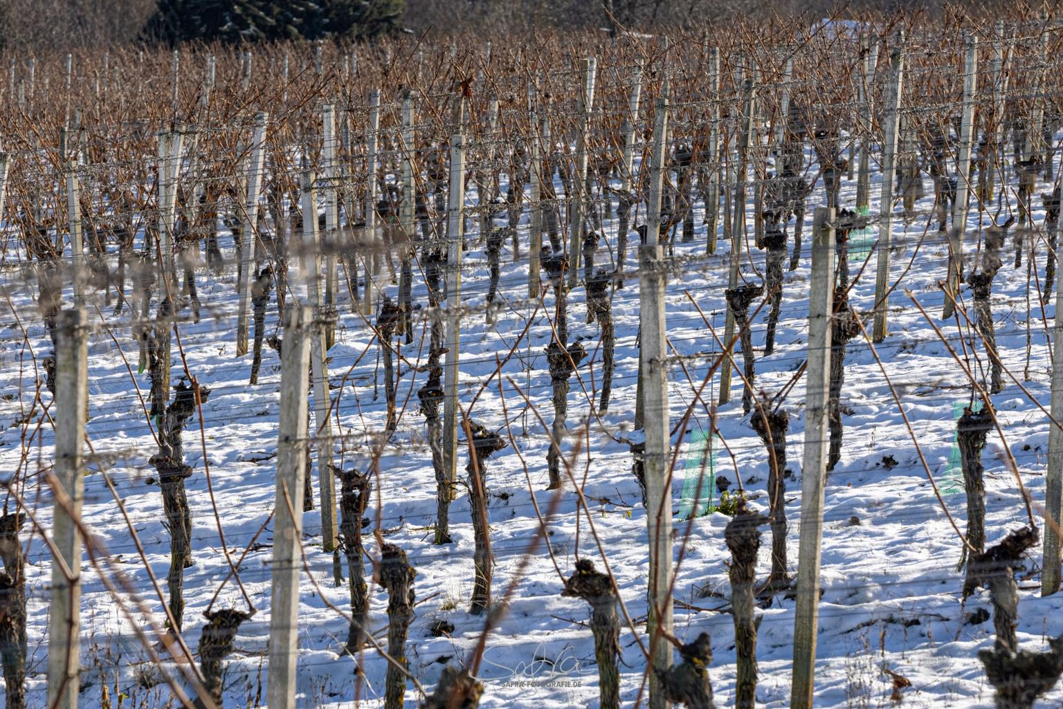 Weinreben im Winter, Großostheim