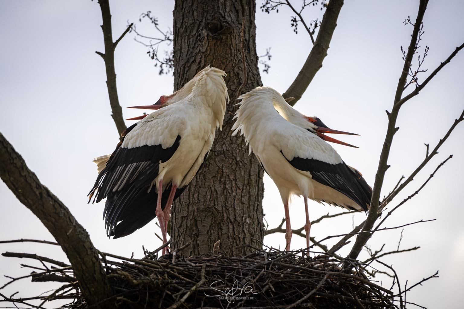 Storch (Ciconiidae) - Balz
