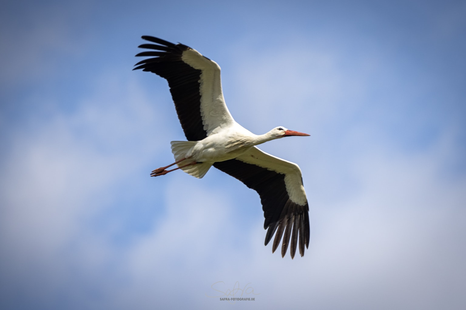 Storch (Ciconiidae)