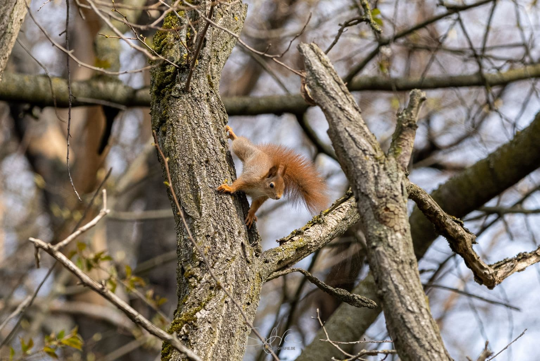 Eichhörnchen, Groß-Umstadt