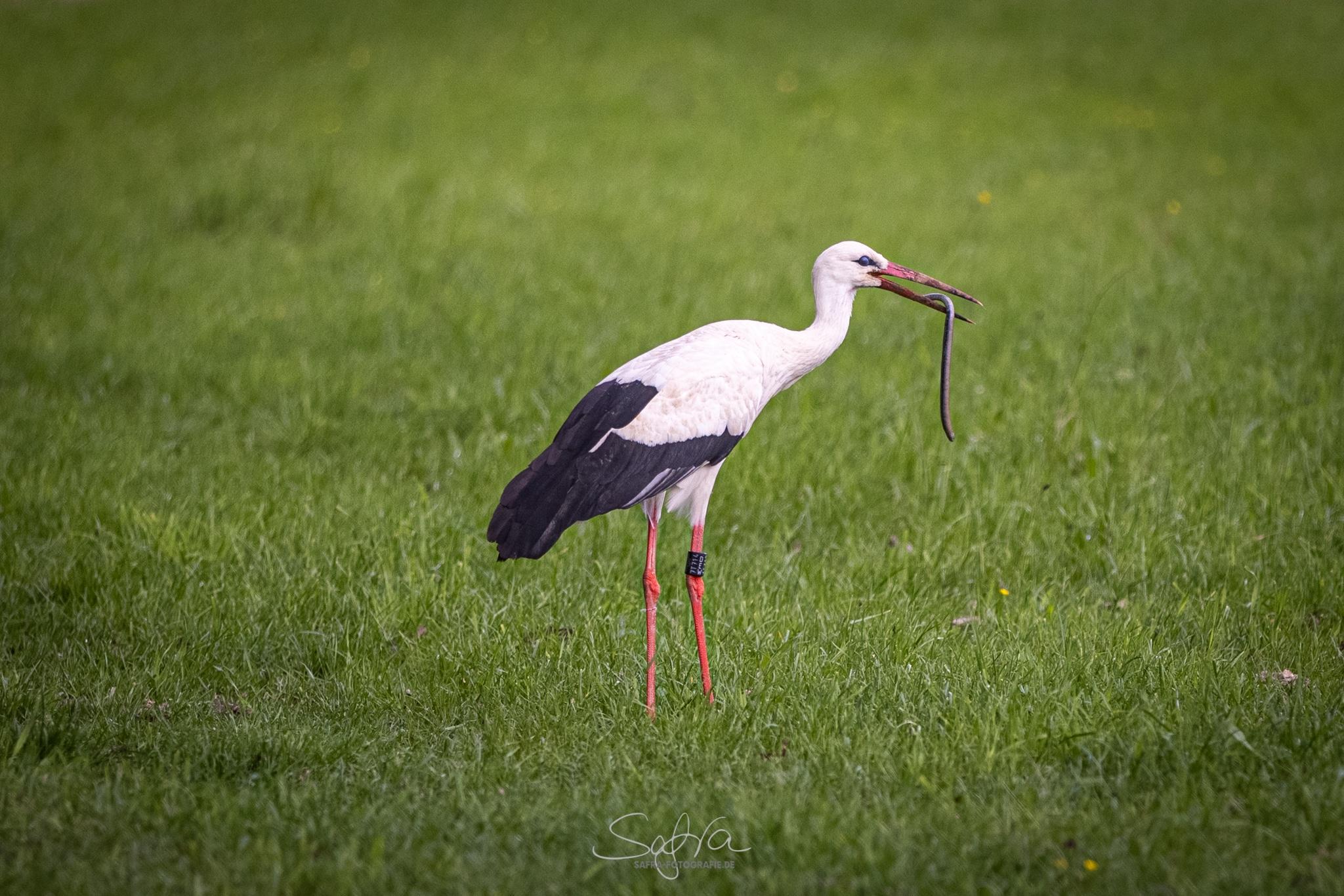 Safra-Fotografie Storch mit Blindschleiche